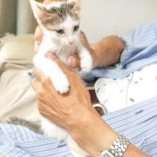 【里親候補有り】白キジ猫のシルビアちゃんの里親募集
