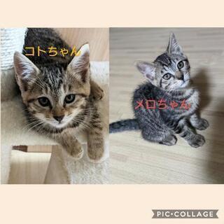 キジトラの仲良し姉妹子猫