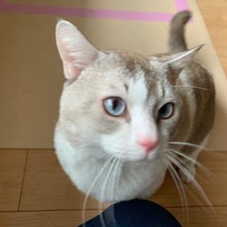 白猫の男の子【2歳】