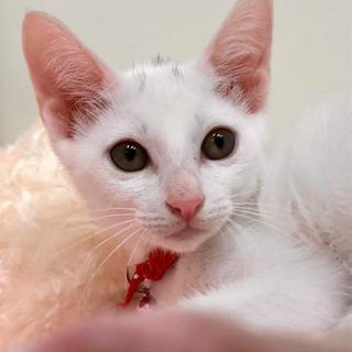 天使の白猫ちゃん、なでなで大好きの甘えたです♡