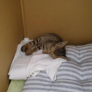 キジトラの子猫(オス、450gぐらい)保護しました。