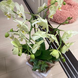 胡蝶蘭譲ります。