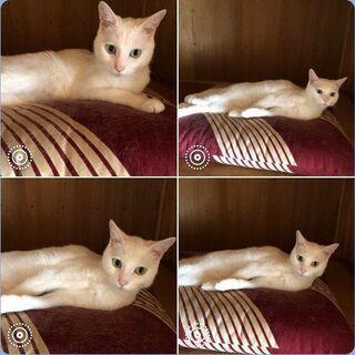 【緊急】飼い主さん死去により取り残された白猫の女の子