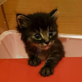 生後1ヶ月の黒トラ「翔くん♂」✴️