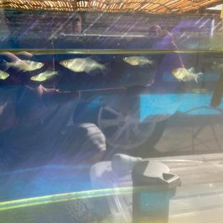 ドラゴンブルー メダカ 成魚 産卵中 17匹 お値下げしました