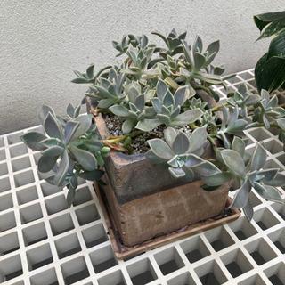 多肉植物 植物