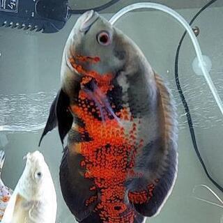 オスカー 熱帯魚の画像