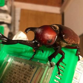 レッドアイ レッドボディの幼虫
