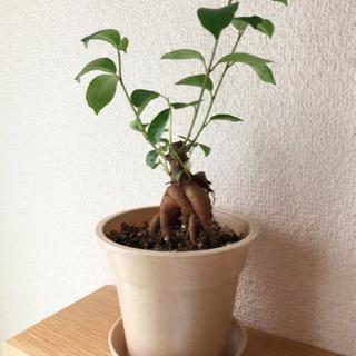観葉植物 ガジュマル④ 25cm ナチュラルカラーの3.5…