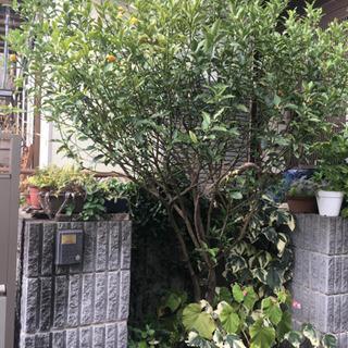 無料⭐️金柑の木