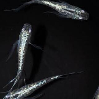 選別漏れ  若魚10匹 天女の舞 みゆき ヒレ長 めだか