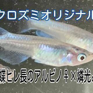 【メダカ】青蝶ヒレ長アルビノ×燐光 5匹