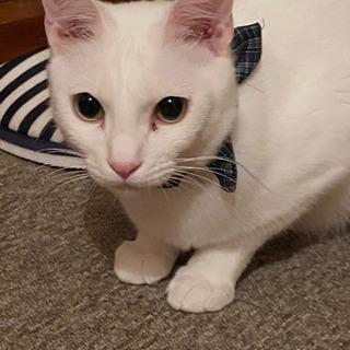 シロ猫の男の子