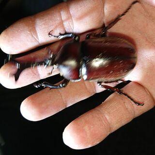 【ネット決済】insectbase 国産カブトムシ ペア 大型多数‼️