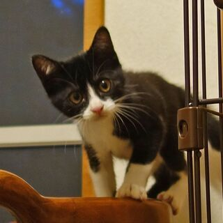 ハチワレの可愛いオス子猫♪推定5月上旬生まれ
