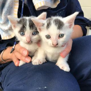 生後1.5ヶ月 子猫  白黒 オス メス