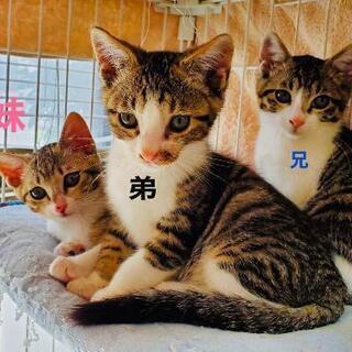 可愛い兄妹2匹一緒での募集です。3匹のうち1匹の♂は先住猫ちゃん...