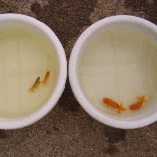 金魚-らんちゅう3匹、2匹