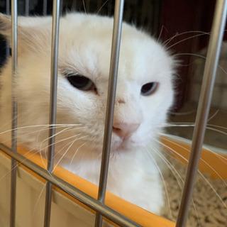 とても可愛い白猫 真っ白 長毛