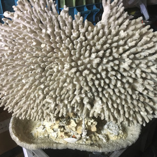 超希少 特大天然珊瑚置物