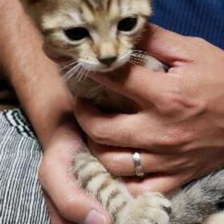 里親募集】アメショ×ベンガルMIXの1ヶ月の子猫3匹です。