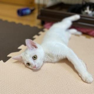 可愛い美猫さんです❗️(8/1(日)姪浜の譲渡会に参加🍀)