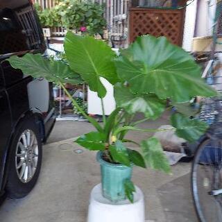 観葉植物、巨大食わずいも、2000円