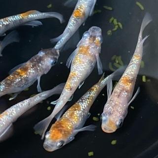 メダカ(月華)幼魚10匹(無選別)