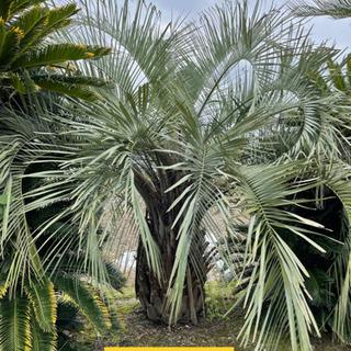 日本国内にて栽培 ココスヤシ 幹高約160cm