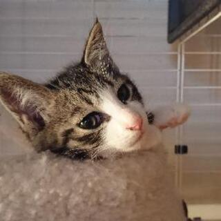 子猫の里親募集します。