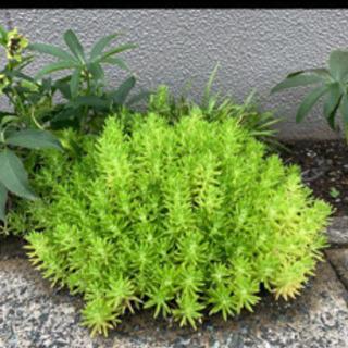 植物 セダム 万年草