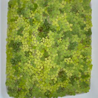 メダカの水草
