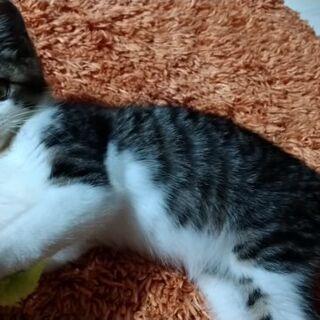 子猫(オス2ヵ月位)保護ネコです!