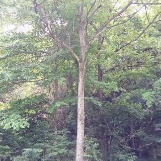 広葉樹の丸太・枝葉を好きなだけどうぞ