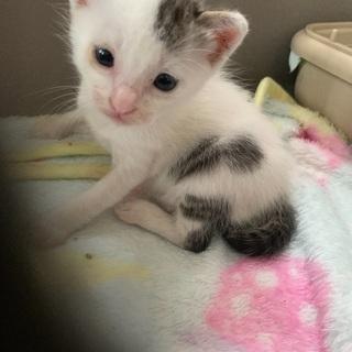 交渉中により一旦ストップします。小顔で可愛い白キジトラの子猫ちゃん!