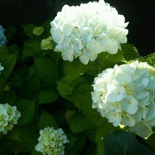 白花 紫陽花 アジサイ 7.5cmポット 挿し木苗