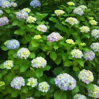 紫陽花 アジサイ 7.5cmポット 挿し木苗