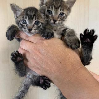 里親募集★キジトラ子猫(右)★生後約2ヶ月