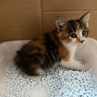 三毛猫 メス 1ヶ月