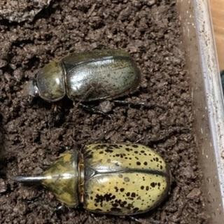 ティティウスシロカブト2~3令 幼虫5頭