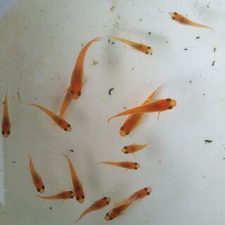 紅帝 若魚①