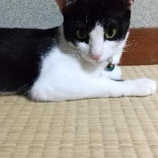 生後6ヶ月位の双子の子猫 - 下関市