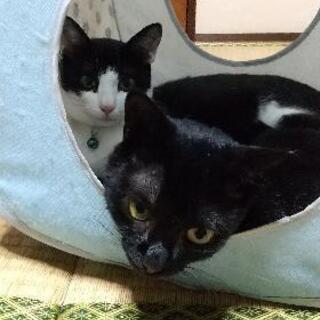 生後6ヶ月位の双子の子猫 − 山口県