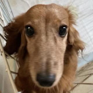 【神戸市限定】穏やかなシニア犬を迎えてください!(代理投稿)