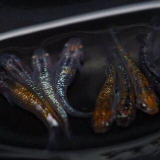 メダカ 第二回『オーロラ黄ラメ新系統』有精卵20+α