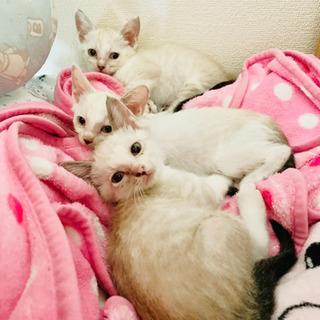 3匹の白っぽくミルクティーみたいな子猫ちゃん♪