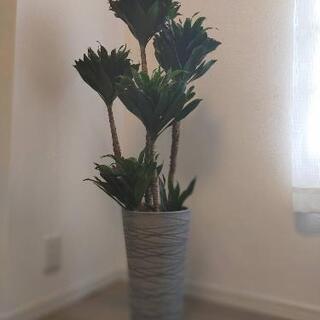 観葉植物 ドラセナ コンパクター