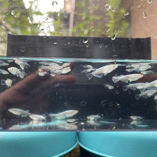 めだかくらぶ 鱗光 若魚 1ペア