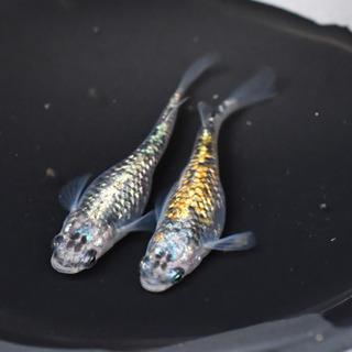 めだかくらぶ オーロラ黄ラメ 若魚1ペア