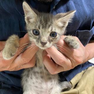 《代理投稿》1ヶ月半ぐらいのオス猫ちゃん